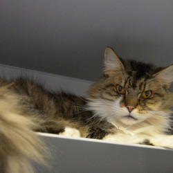 Mix- Maine Coon