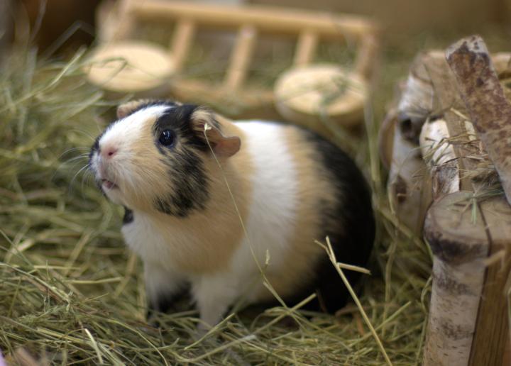 meerschweinchen tierschutzverein gross essen e v. Black Bedroom Furniture Sets. Home Design Ideas